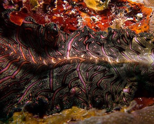 David Gilchrist - Persian Carpet Flatworm