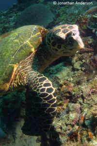 Hawksbill Turtle - 4 scutes between the eyes