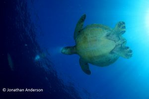 Green Turtle - Female with rounded Plastron and small tail
