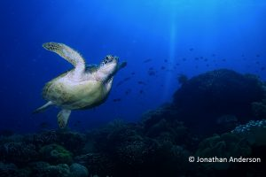 Female Green Turtle - small tail, rounded chest