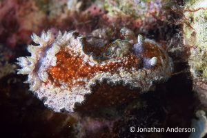 Girdled Glossodoris