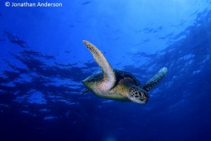Green Turtle beginning her dive