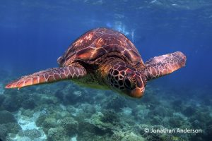 Green Turtle - two scutes between the eyes
