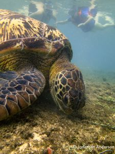 Green Turtle feeding on seagrass